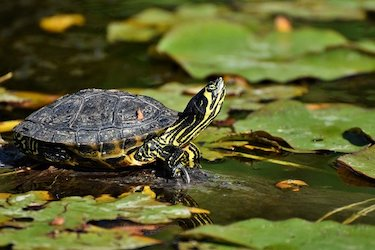 turtle in a fishing lake