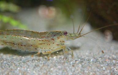 do bass eat shrimp