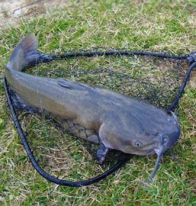 How Long Can a Catfish Live Out of Water