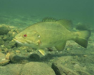 smallmouth vs largemouth bass