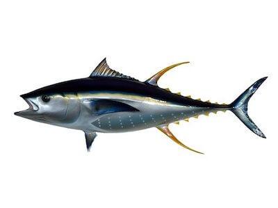 yellow fin tuna taxidermy