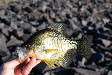 Do crappie eat bluegill and shad