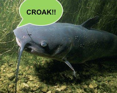 why do catfish croak