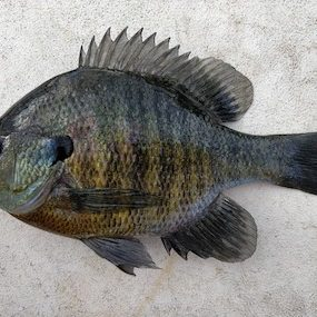 Is a Bluegill the Same as a Sunfish