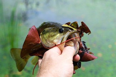 spotted bass vs largemouth bass