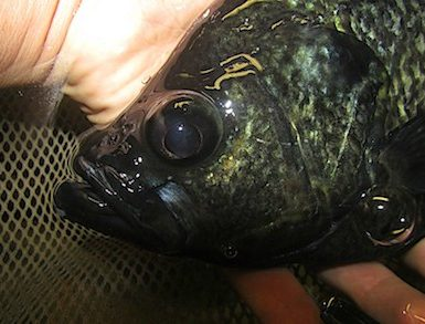 why crappie turn black